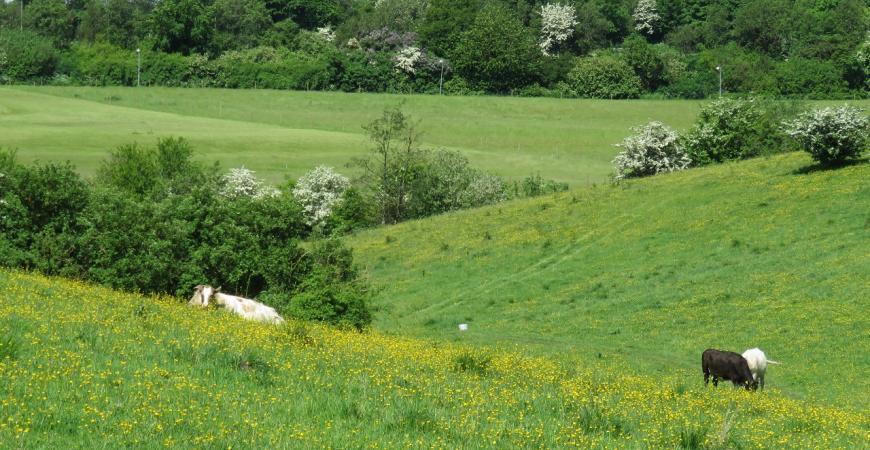 Madsbyparken, det grønne område med fritgående køer